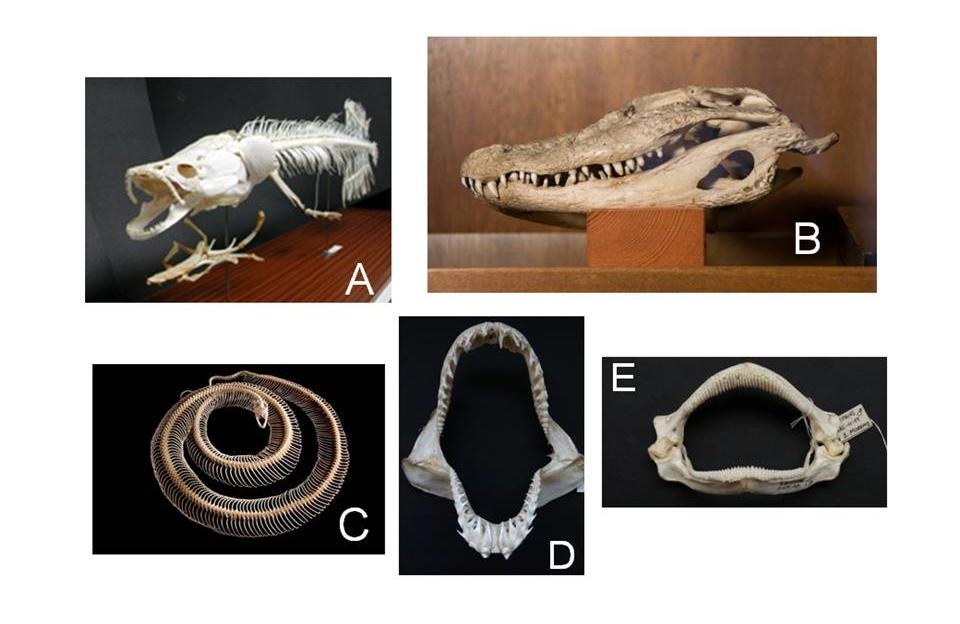 UCM-Museo de Anatomía Comparada de Vertebrados